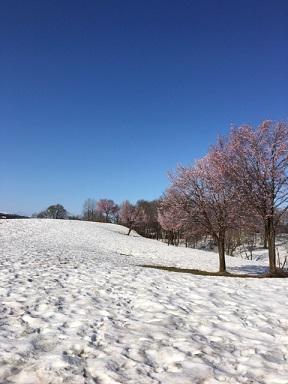 雪上桜2021