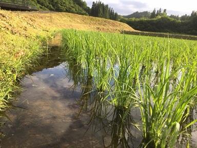 中干に入る稲