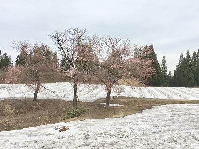 2019雪上桜