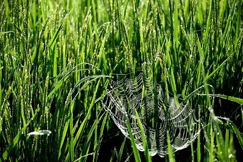 稲とくもの巣
